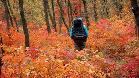 Man tourist in a blue jacket with a backpack rejoices in the autumn forest.  stock footage