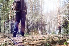A man is a tourist in a pine forest with a backpack. A hiking tr. Ip through the forest. Pine reserve for tourist walks. A young man in a hike in the spring.r Royalty Free Stock Photos