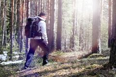 A man is a tourist in a pine forest with a backpack. A hiking tr. Ip through the forest. Pine reserve for tourist walks. A young man in a hike in the spring.r Stock Photo