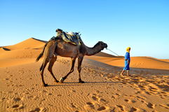 Man in traditional  berber wear eads a camel Royalty Free Stock Images