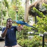 Man training the ara in Konoko Gardens, Jamaican royalty free stock photo