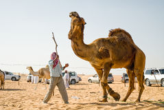 Man training camel. Man training large male camel with stick in desert in annual camel sale in United Arab Emirates royalty free stock photos
