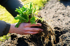 Man transplanting a small plant Stock Photo