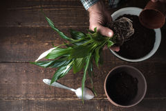 Man transplants a flower Spathiphyllum in flower pot on the right Royalty Free Stock Images