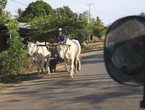 Man transported by two cows in Malindi Stock Photography
