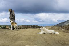 Man and his assistants. Man in travel clothes communicates with two big dogs on a road in deserted mountain landscape stock photography