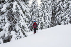 Man traveler goes in snowshoes among snow covered fir trees Royalty Free Stock Images