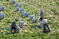 Man tre skördar grönsaker Royaltyfri Fotografi