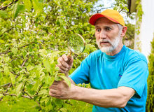 Man at the tree branch of an apple tree saw pests Royalty Free Stock Image