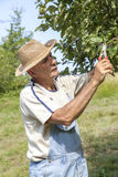 Man trimming the apple tree Royalty Free Stock Image