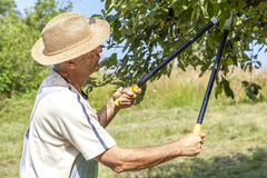 Man trimming the apple tree Stock Images