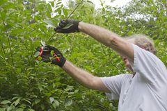 Man Trimming a Bush With Pruning Shears Royalty Free Stock Photo