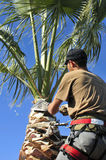 Man Trimming a Palm Tree. A tree surgeon uses a corbillote blade to prune the top a fan palm Stock Image