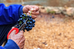 A man trimming and Sorting Bunch of Seedless Grapes after Harves. Ting royalty free stock photo