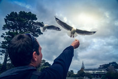 Man trying to fed seagulls. Man holding his hand up in the air trying to fed flying seagull royalty free stock photos