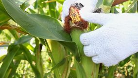Man turns the fruit of corn. Collect corn in the garden. Man turns the fruit of corn stock video footage