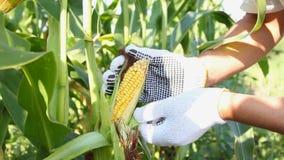 Man turns the fruit of corn stock video