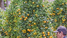 Man Turns Green Tangerine Tree With Ripe Fruits on Market. NHA TRANG, KHANH HOA/VIETNAM - JANUARY 26 2017: Man turns green tangerine tree in pot with ripe orange stock footage