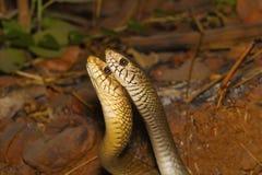 Man två tjaller ormar, Ptyasmucosa i en strid arkivfoto