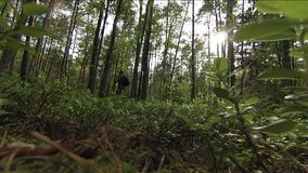 Man and two dogs walking in forest stock footage