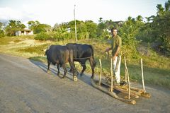 Man with two oxen pulling sled on street in the Valle de Vi�ales, in central Cuba Royalty Free Stock Image