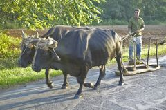 Man with two oxen pulling sled on street in the Valle de Vi�ales, in central Cuba Stock Photos