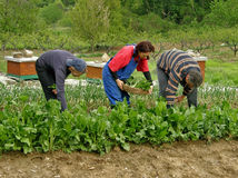 Man and two women picking chard Royalty Free Stock Images