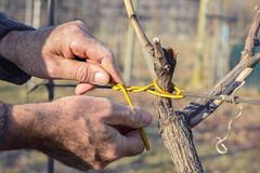 Man tying vines using ancient method Stock Images
