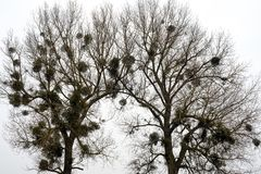 Two oaks stock photo