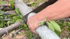 Man sawing old tree. Man using hand saw to cut the old tree for firewood stock video footage