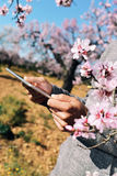 Man using a tablet in a grove of almond trees in full bloom Stock Images