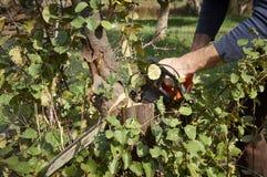 Man utan skydd, snittträd med chainsawen Arkivfoto