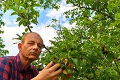 Man val av sura körsbär i surt körsbärsrött träd Mogen man som samlar sura körsbär Åldrig man för mitt, trädgårdsmästare i sommar Arkivfoton