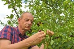 Man val av sura körsbär i surt körsbärsrött träd Mogen man som samlar sura körsbär Åldrig man för mitt, trädgårdsmästare i sommar Royaltyfri Bild