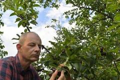 Man val av sura körsbär i surt körsbärsrött träd Mogen man som samlar sura körsbär Åldrig man för mitt, trädgårdsmästare i sommar Royaltyfria Bilder