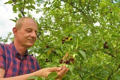Man val av sura körsbär i surt körsbärsrött träd Mogen man som samlar sura körsbär Åldrig man för mitt, trädgårdsmästare i sommar Arkivfoto