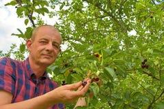 Man val av sura körsbär i surt körsbärsrött träd Mogen man som samlar sura körsbär Åldrig man för mitt, trädgårdsmästare i sommar Arkivbild