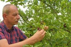 Man val av sura körsbär i surt körsbärsrött träd Mogen man som samlar sura körsbär Åldrig man för mitt, trädgårdsmästare i sommar Arkivbilder