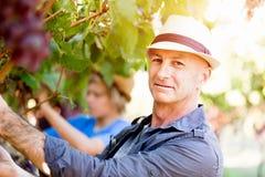 Man in vineyard Stock Images