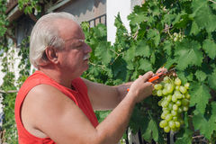 Man in vineyard picking grapes Stock Photos