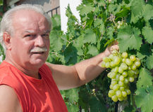 Man in vineyard picking grapes Stock Photography