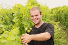 Man in vineyard. Young man in black shirt cutting vine royalty free stock photography