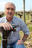 Man in vineyards with shears Royalty Free Stock Image