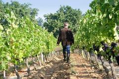 Man in the vineyards. Man walking in the vineyards royalty free stock photos