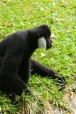 Man Vit-vara fräck mot gibbon (Nomascus leucogenys) Arkivbilder