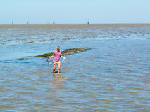 Man wading in shallow water with bucket of collected mussels fro. Senior man wading in shallow water at low tide with bucket of collected mussels from natural royalty free stock photo