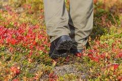 Man walk among bearberry rice Royalty Free Stock Image