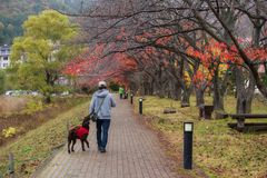 Man walk with cute retriever dog. Japanese male owner walk with happy black golden retriever dog in morning near Kawaguchiko lake, Japan. Human best friend with stock images