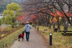 man walk with cute retriever dog stock images