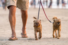 Man walking on the beach with two funny dogs. Man walking on the beach with two funny small dogs stock images